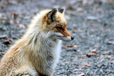 focal focus photography of white and brown fox