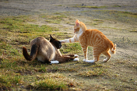 two orange and Siamese cats playing on grass field