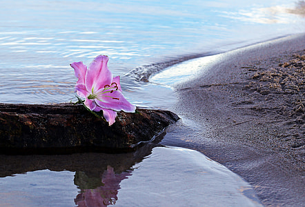 stargazer lily on a brown rock on beach