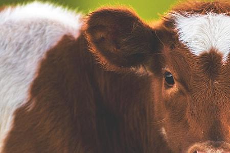 Closeup shot of a cow in a field on a farm