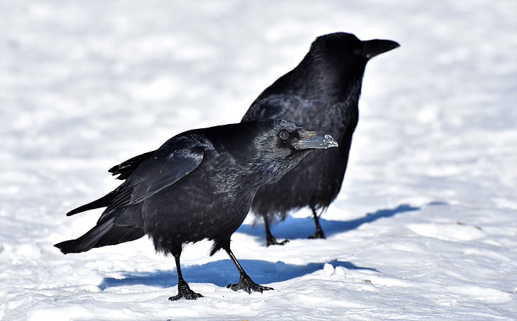 two black crows standing of white snow field during daytime