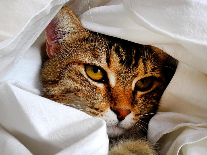 gray tabby cat wrapped in white textile