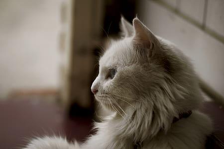 White Long Coat Cat
