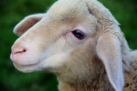 closeup photo of brown sheep