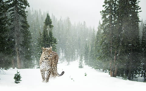 brown and black leopard in snow covered forest