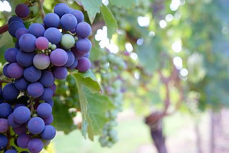 Close Up Photo of Grape Fruit