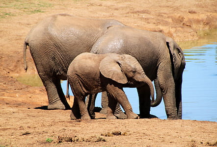 three elephants standing near body of water