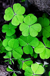 clover leafs