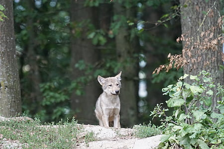 wolf cub between tall trees