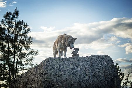 wolf on cliff