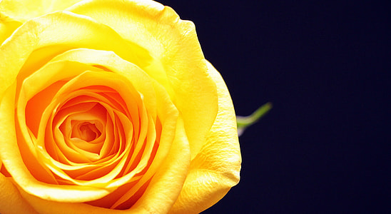 macro photography of yellow rose