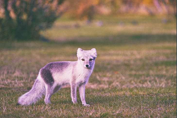 coyote puppy on grass field