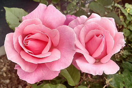 photo of two pink roses