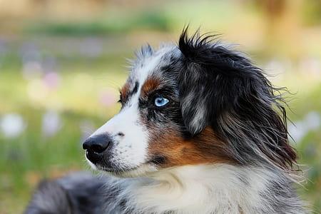closeup photography of merle Australian shepherd puppy