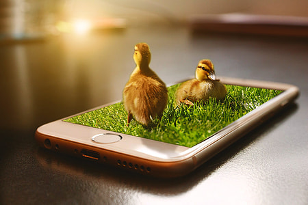 photo of brown ducklings on top of gold iPhone 6