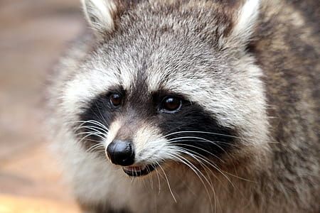 close-up photography of gray raccoon