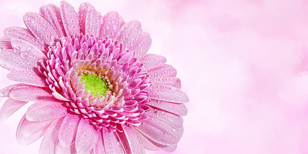 selective focus of pink Gerbera daisy flower with dew