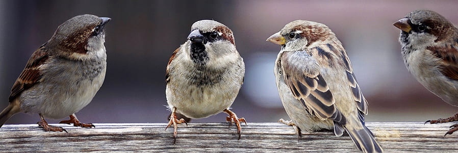 flock of Eurasian tree sparrows