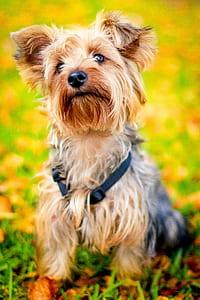 beige yorkshire terrier