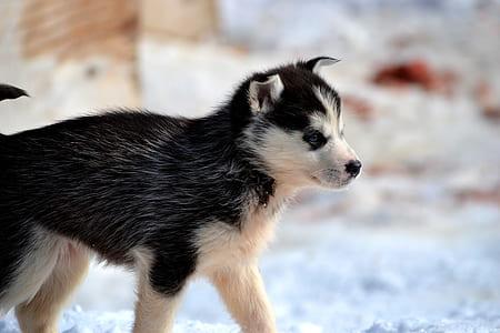 black and whtie Siberian husky on snow field
