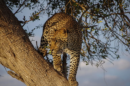 brown leopard on trunk