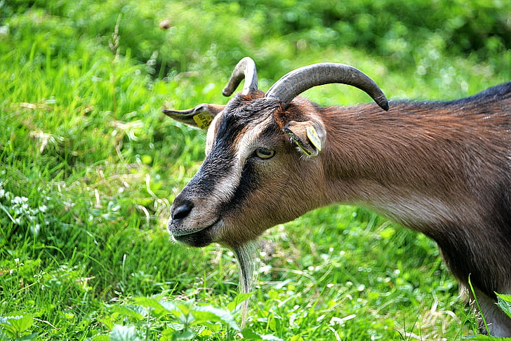 photo of beige and black goat