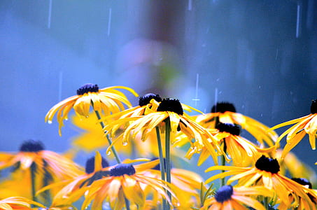 close up photography of yellow blackeyed Susan flowers