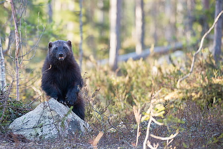 selective focus photography of black bear stands near grey rock