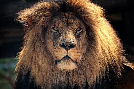brown lion on focus photo