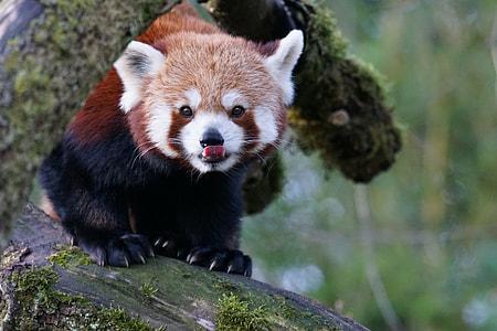 photo of red panda