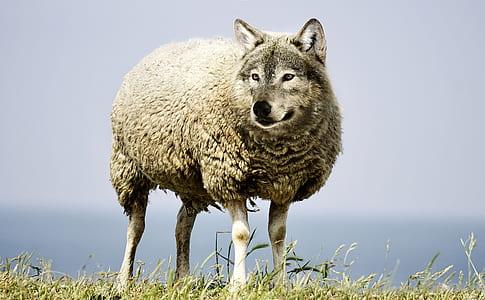 sheep with photo edited wolf head