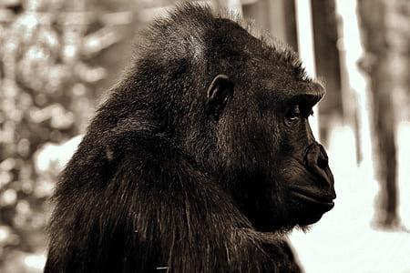 closeup photography of black gorilla