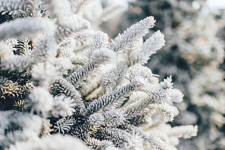 close-up photo of white pine trees