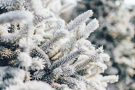 close-up photo of white pine trees