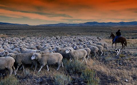 photo of herd of sheeps