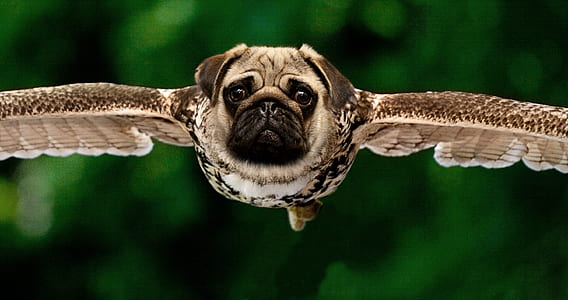 pug head with bird body photo manipulation