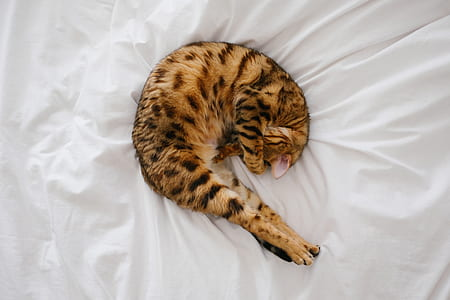 Bengal cat sleeping on white bed spread