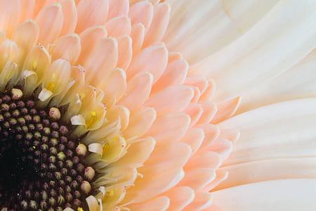 peach-colored gerbera daisy in macro photography