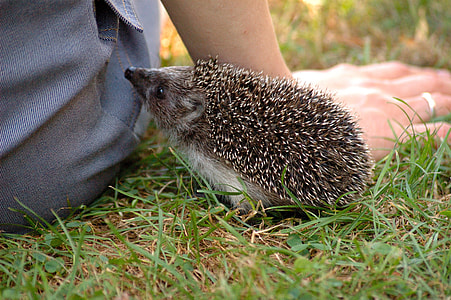 grey hedge hog