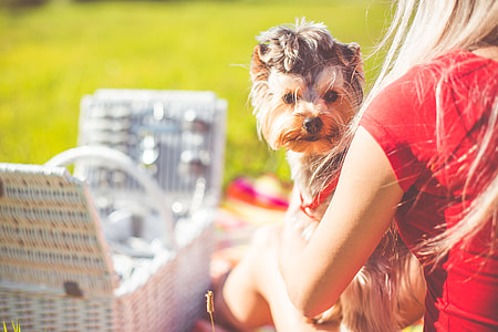 Enjoying Sunday Picnic with Cute Yorkshire Terrier