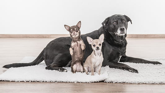 adult black Labrador retriever, miniature pinscher, and Chihuahua on focus photo