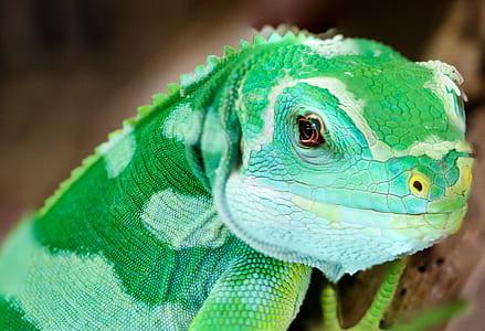 macro photography of green chameleon