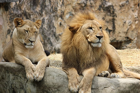 photo of lioness and lion lying on rock