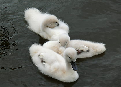white white ducklings on calm body of water