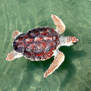 red and black sea turtle