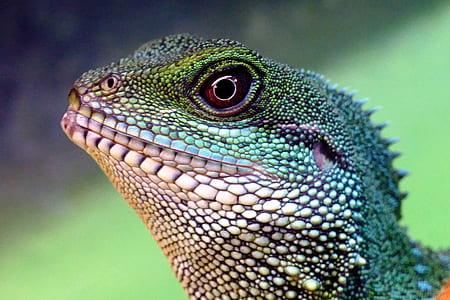 closeup photo iguana