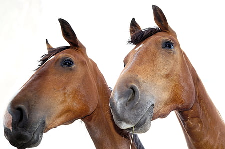 two brown horse heads