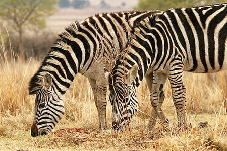 two zebra on brown dry grass during daytime