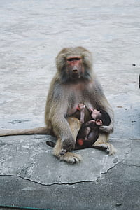 gray mother monkey with its baby sucking to her breast