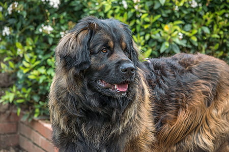 adult black and tan Caucasian shepherd stands near green plant at daytime